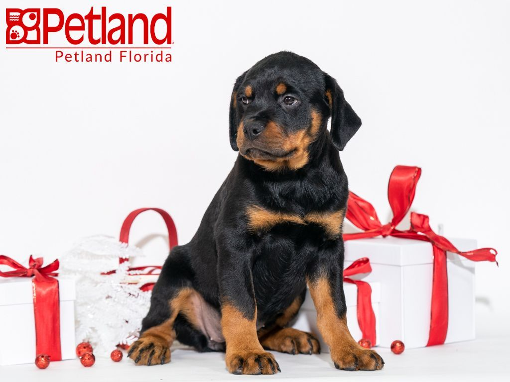 Petland Florida Has Rottweiler Puppies For Sale Check Out All Our