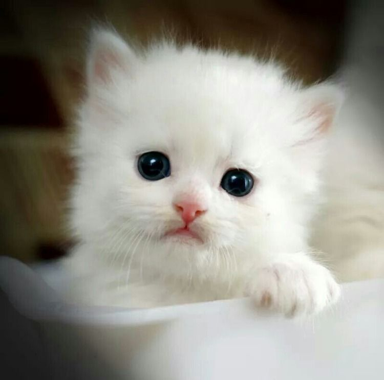 One Of The Most Beautiful Cats Cute Baby Cats Baby Cats Kittens Cutest