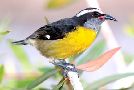 Reinita Comun Pajaros Puerto Rico Aves