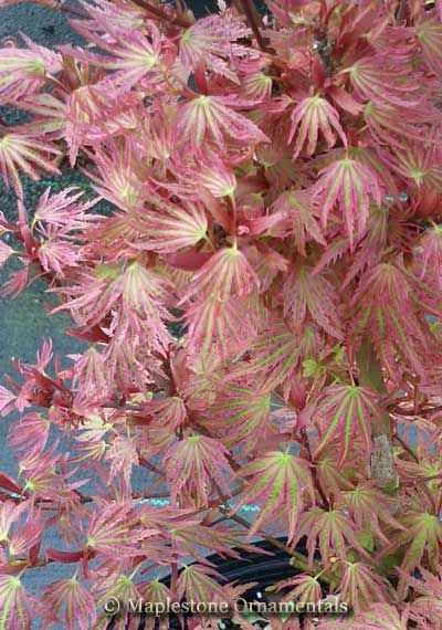 Abigail Rose Japanese Maple Showing Spring Color Japanese Maples