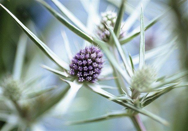 Purple Flowering Thistle Shaped Flower Of Eryngium Variifolium Sea Holly With Spiky Leaves Carol Sharp Eye Ubiquitous Corbis