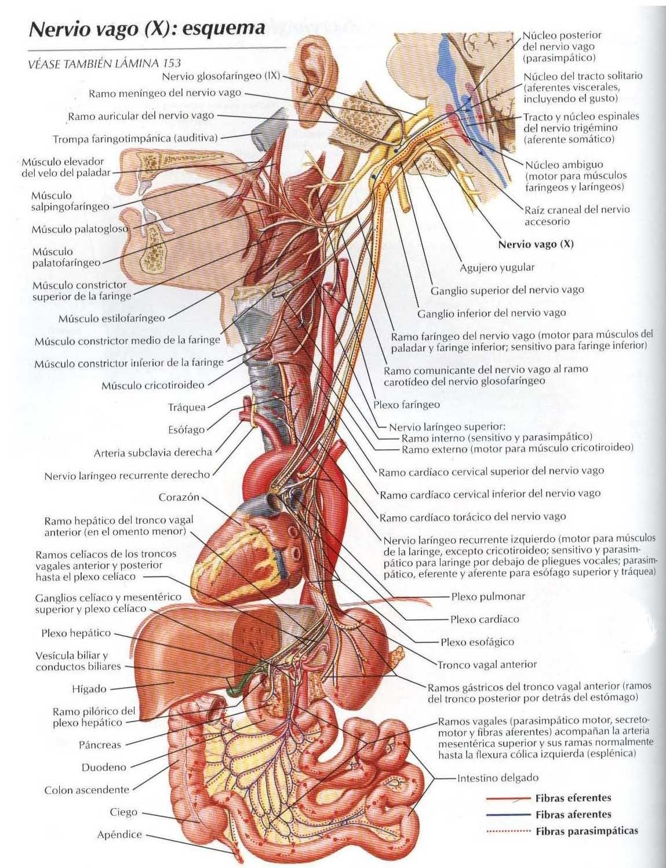 Asombroso Anatomía Del Nervio Vago Ppt Composición - Anatomía de Las ...