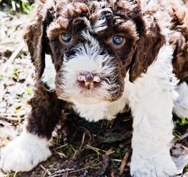 These Truffle Hunting Puppies Will Melt Your Heart Truffle Hunting Puppies Wag The Dog