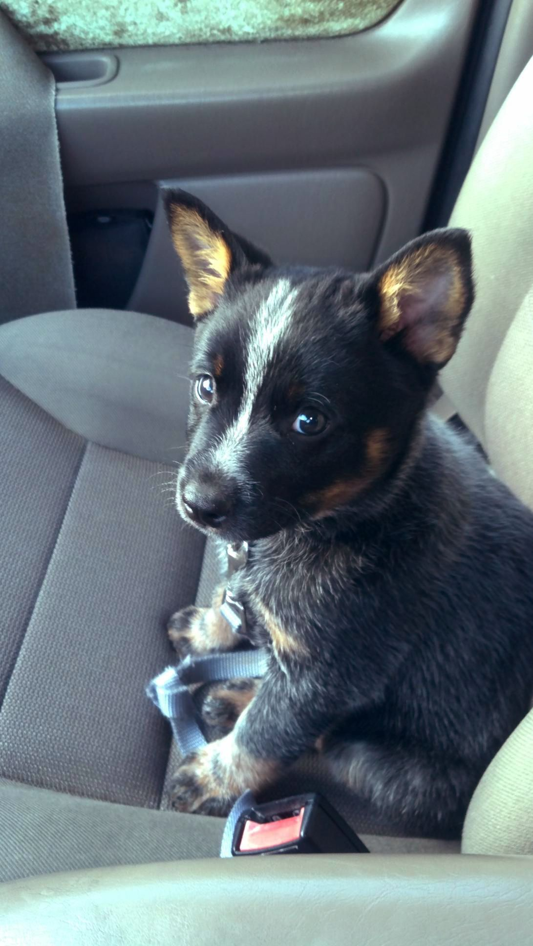 Australian Cattle Dog From Your Friends At Phoenix Dog In Home