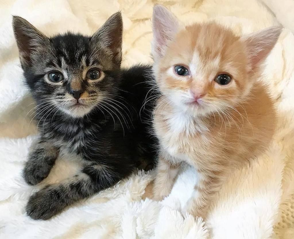 Kitten Lady Kittenxlady Twitter Kitten Pictures Kitten Cute Cats