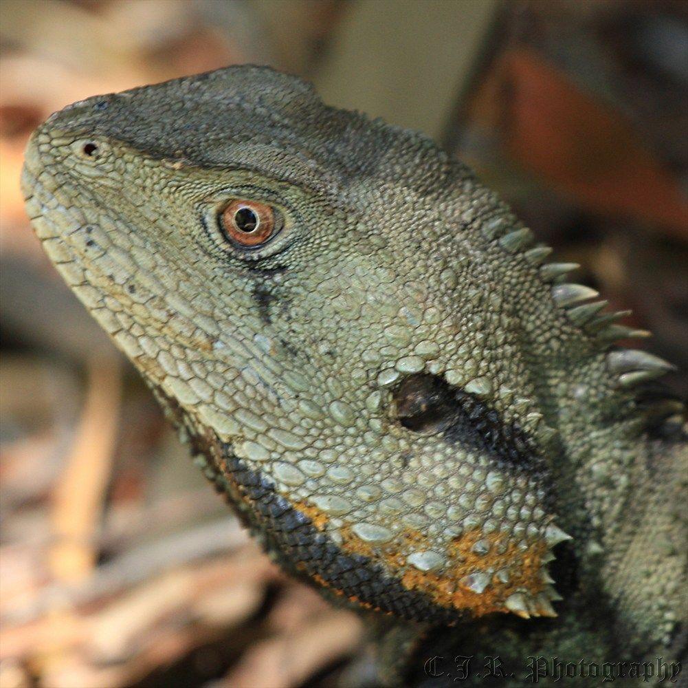 Lizards and water dragons lizards and water dragons pinterest