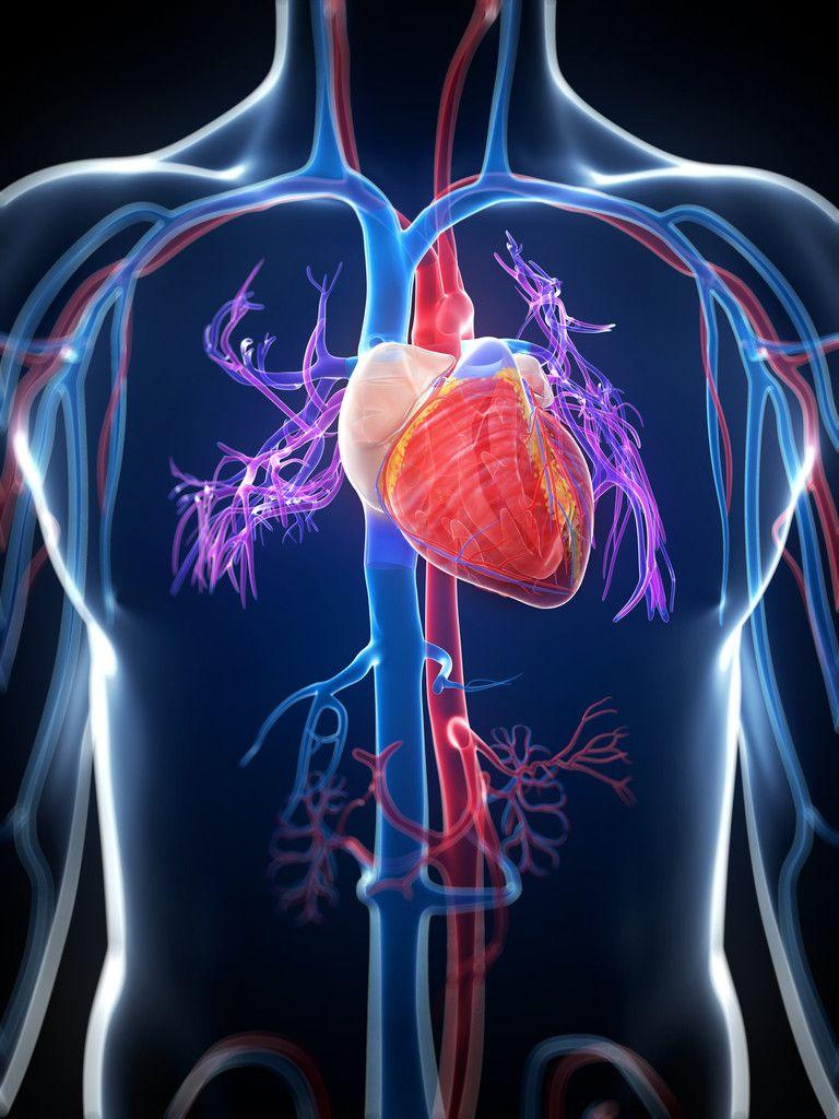 Cardiovascular System Part 1 Anatomy Physiology Healthy Food