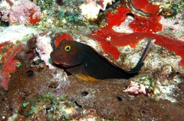 Red Lipped Blenny Marine Ocean Life Fish Pet