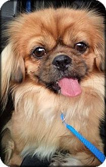Mississauga On Pekingese Meet Falkor A Dog For Adoption Pet