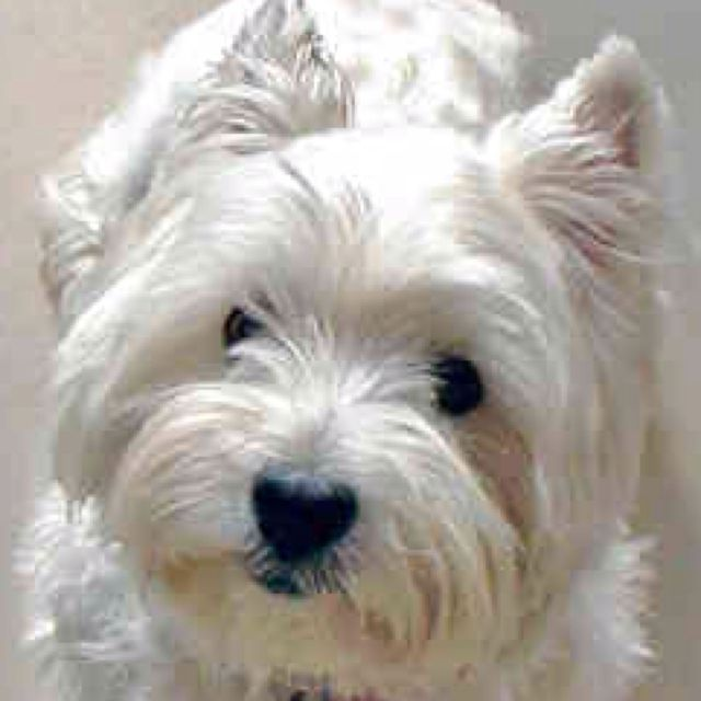 West Highland Terrier Westies Westie Dogs White Terrier