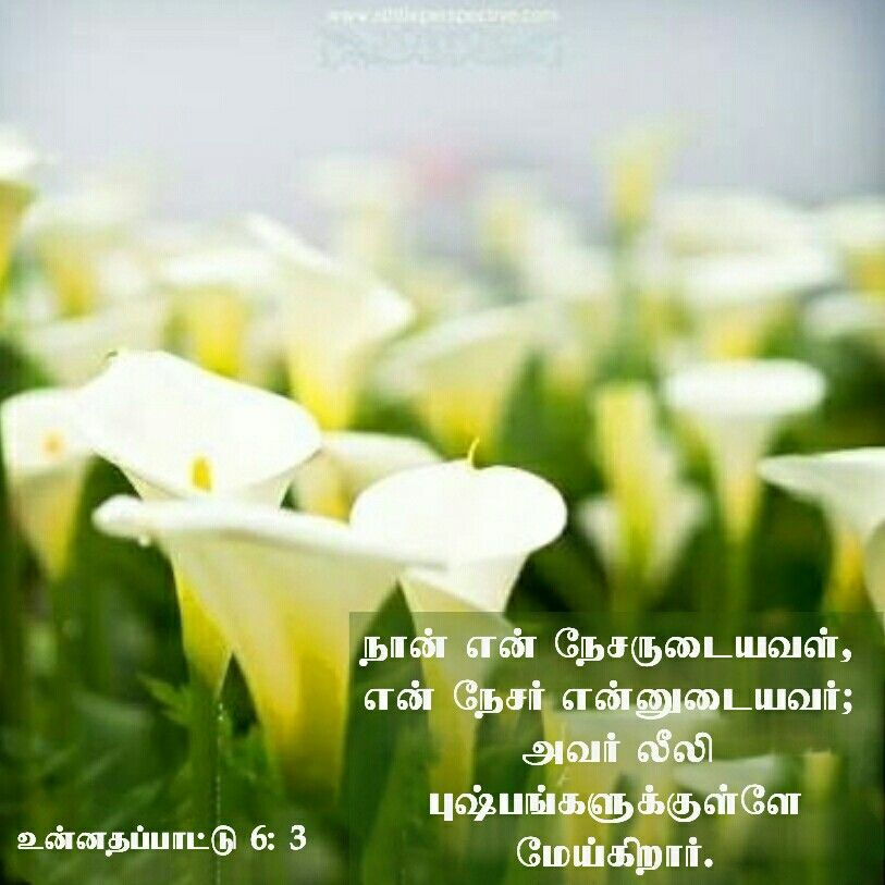Pin By Tamil Mani On Tamil Bible Verse Wallpapers Song Of Solomon Scripture Pictures Songs