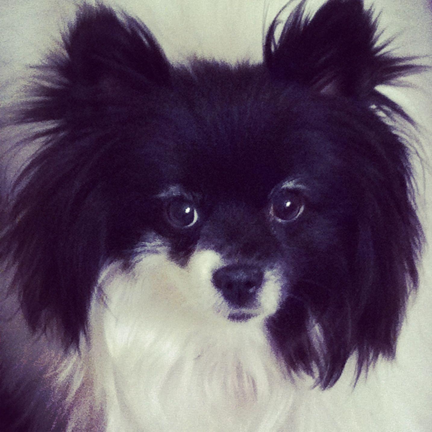 My Beautiful Pomeranian Maltese Mix Dog Lulu Love Her Dogs