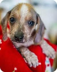 Image Result For Crested Beagle Dog Sounds Chinese Crested Dog