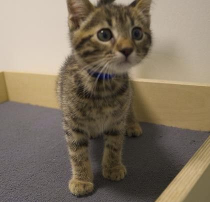 Popeye is a goofy little kitten who is available for adoption at our Mission campus!