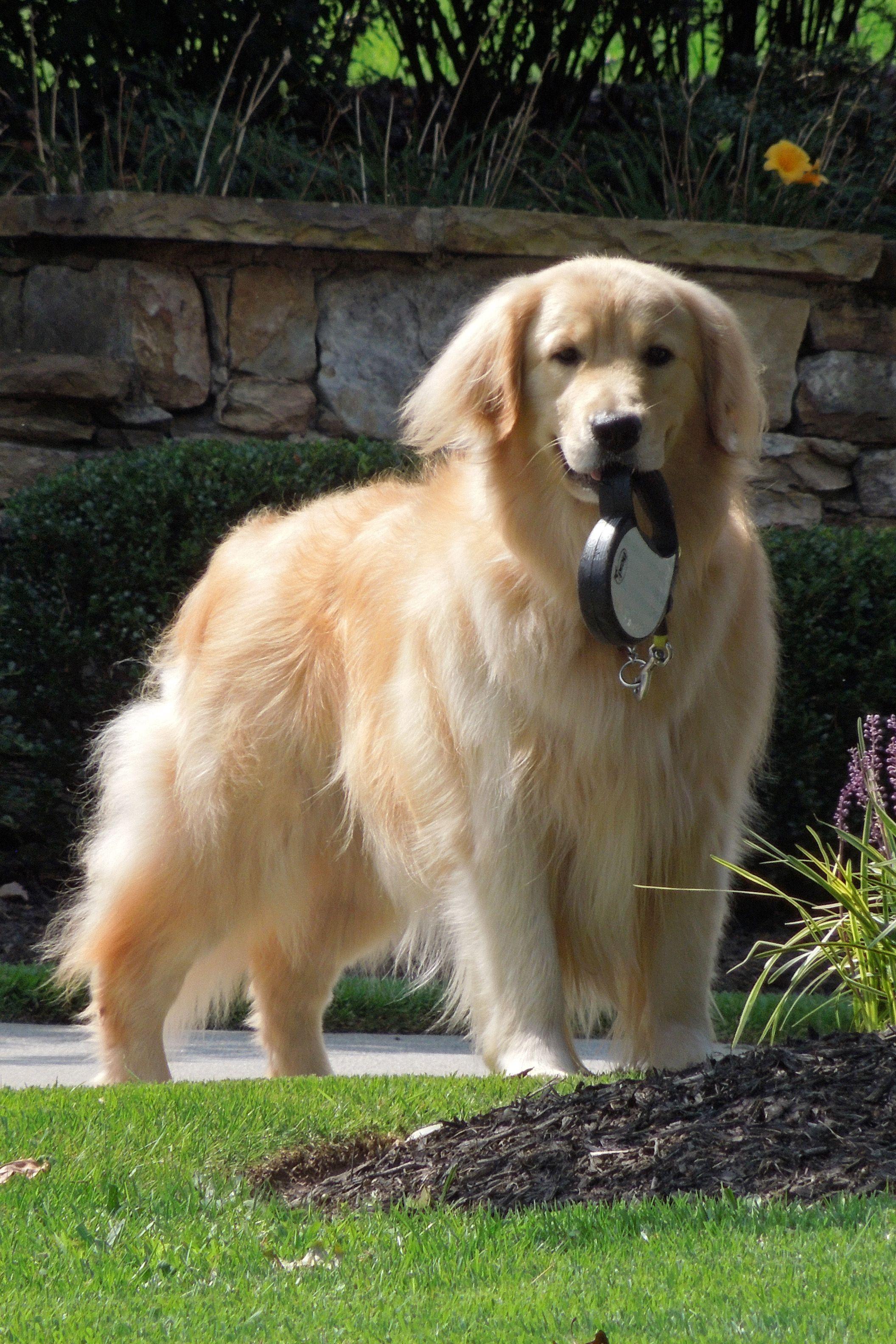 Seamus Retriever puppy, Dogs golden retriever, Beautiful