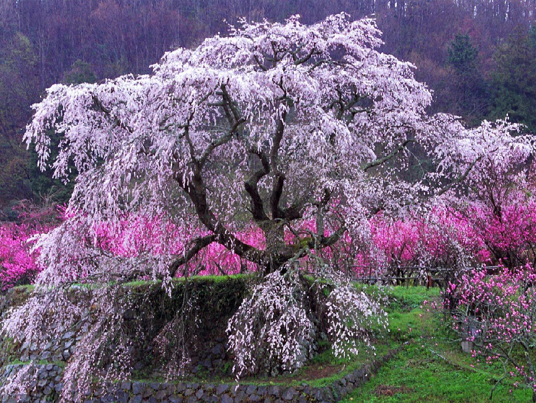 Sakura Places Id Like To Go Pinterest Fukushima