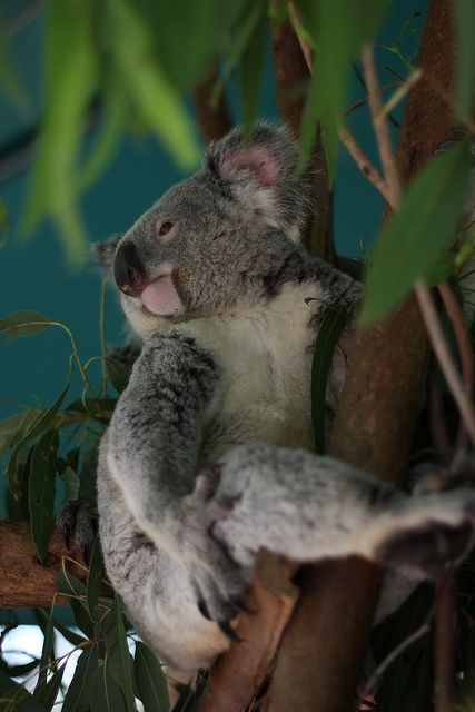 Marko Mikkonen Koala Koala Bear Australian Native Animals