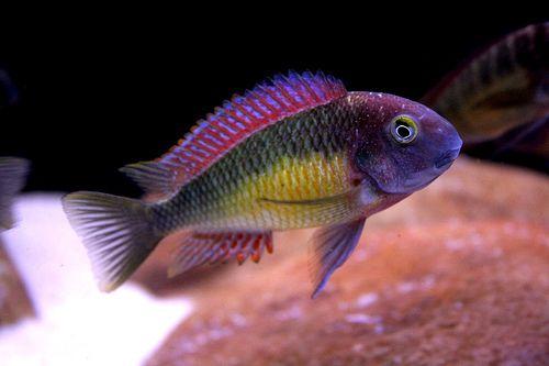Tropheus Moorii Kasanga Red Rainbow By Glen S Mears Jr Via Flickr Freshwater Aquarium Fish African Cichlid Aquarium Aquarium Fish