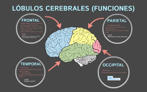 Los Lóbulos Cerebrales Y Sus Funciones Lóbulos Cerebrales Anatomia Y Fisiologia Humana Estudiantes De Enfermería