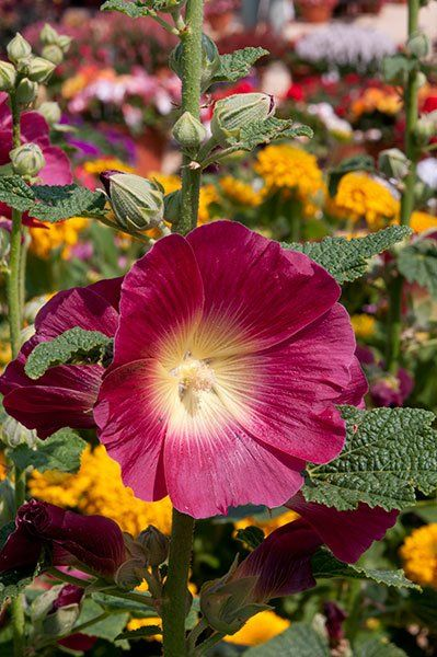 Hollyhock Alcea Halo Red Old Fashioned Look Perennial Shaker