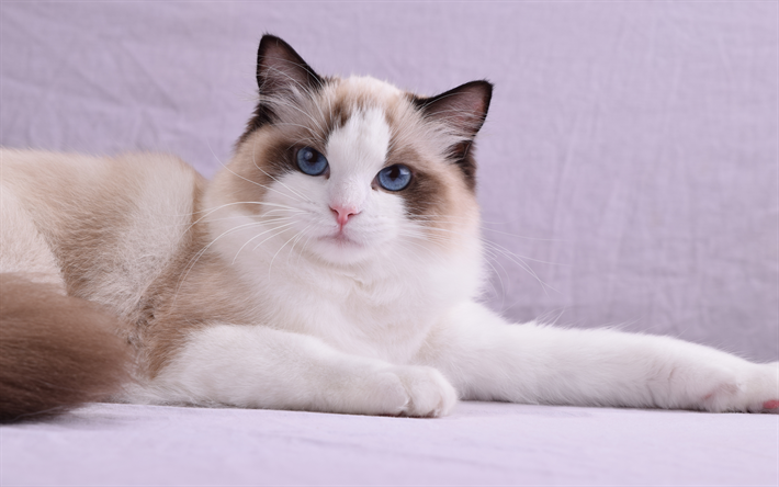 Download Wallpapers 4k Ragdoll Cat Pets Blue Eyes Cute Animals Cats Ragdoll Besthqwallpapers Com Races De Chats Animaux De Compagnie Chats Et Chatons