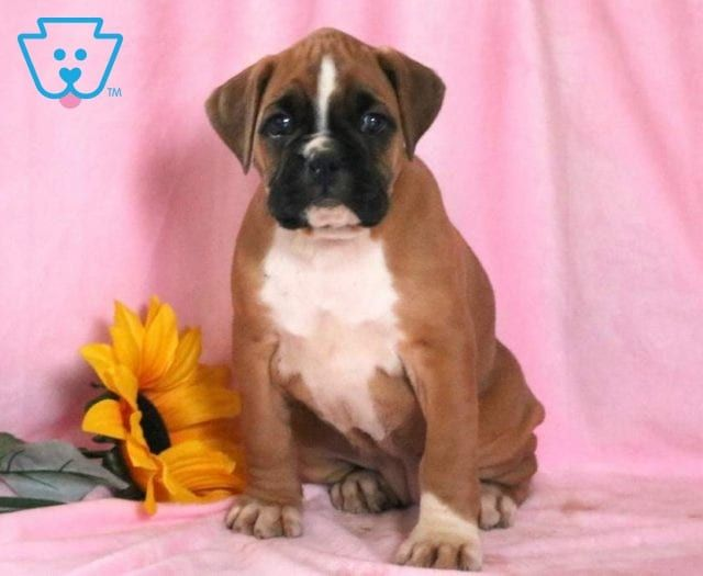 Flipper Boxer puppies for sale, Boxer puppies, Boxer dogs