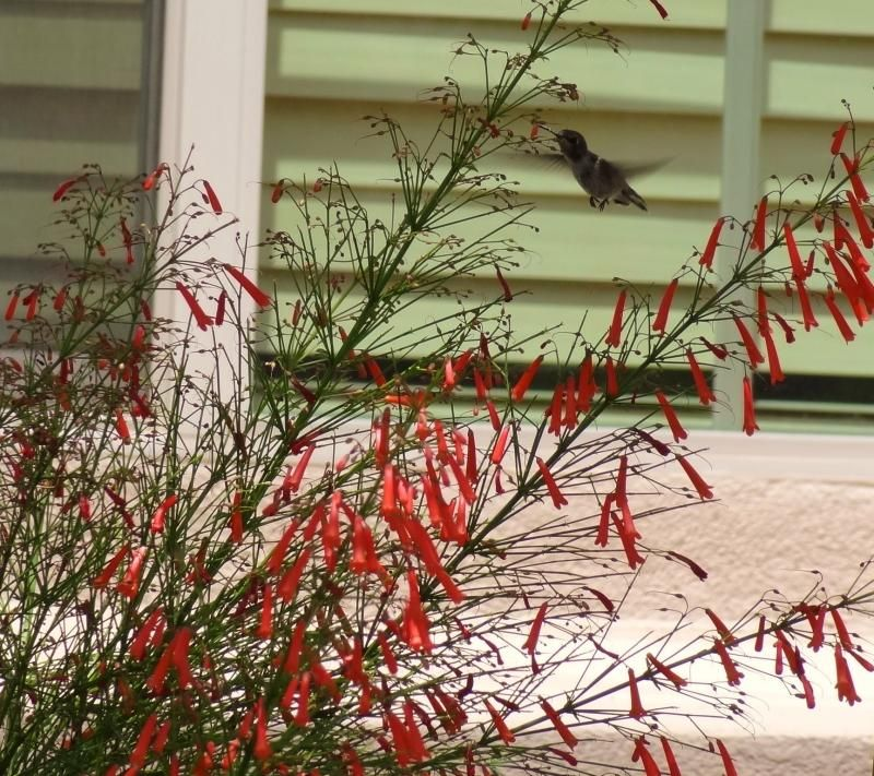 Desert Gardens Nursery Hummingbird plants Garden Pinterest