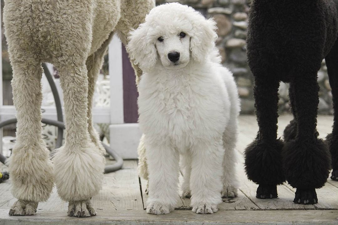 Baby Maggie The Standard Poodle By Alan Brown Poodle Standard