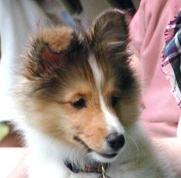 Shetland Sheepdog Puppy! I think this puppy is similar in