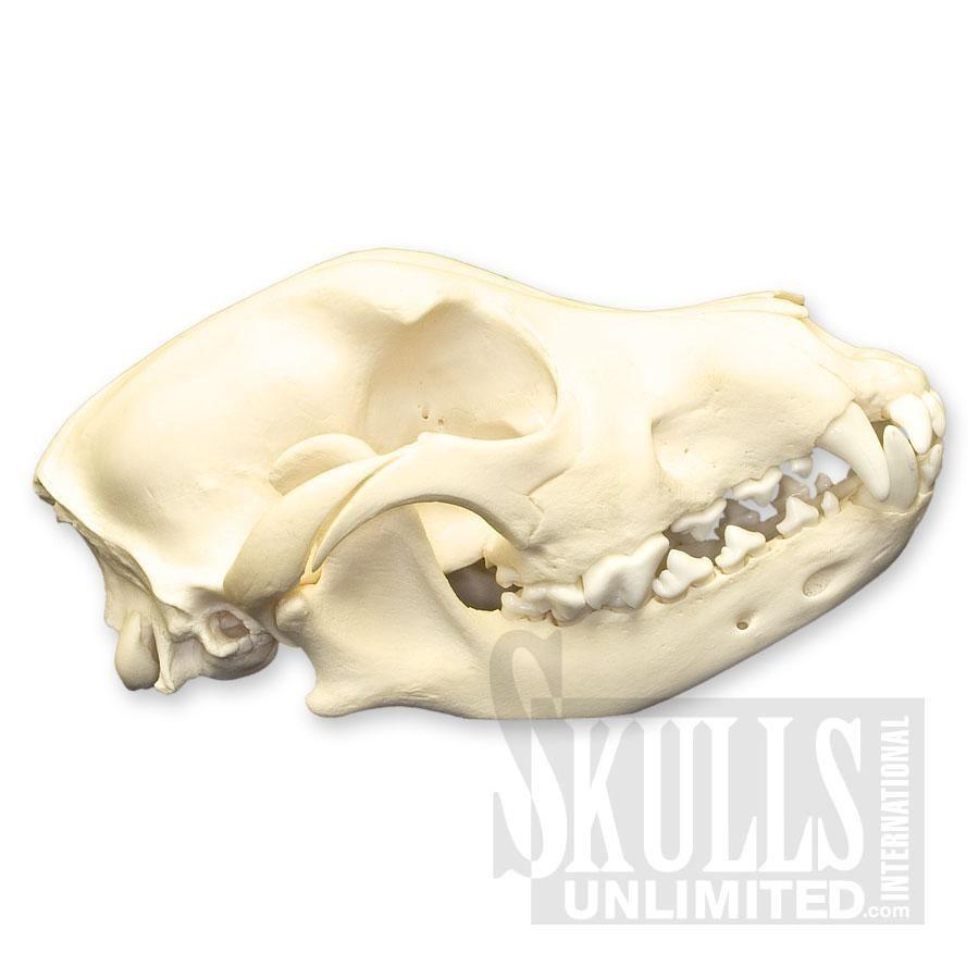 Domestic Dog Skull (small) (Canis familiaris) | WSM-134 | Animal ...