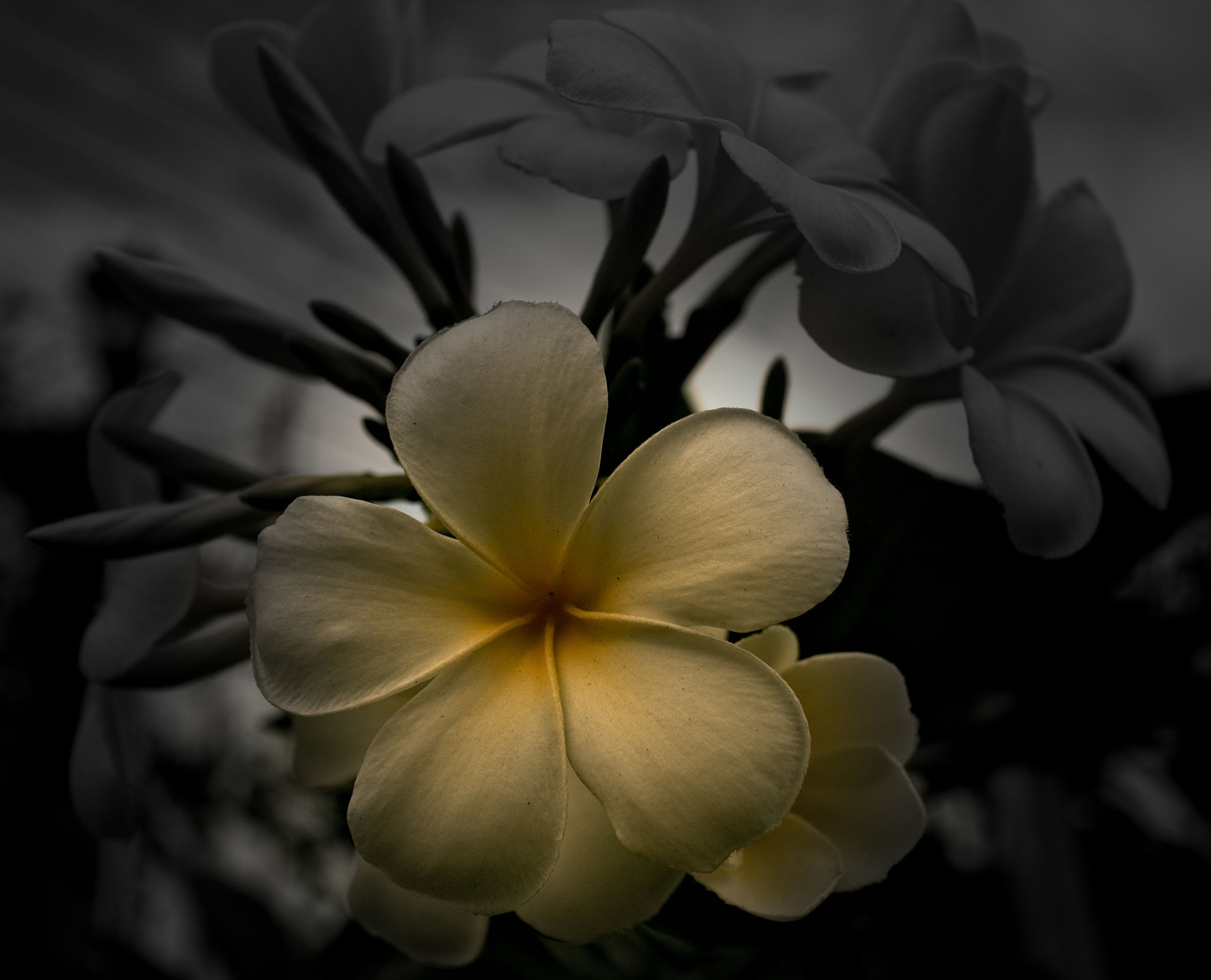 frangipani by Scott Innes on 500px