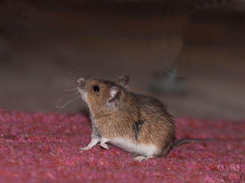 Maus Im Haus So Wirst Du Sie Auf Eine Tierliebe Und Effektive Art Und Weise Los Maus Im Haus Maus Haus Und Garten