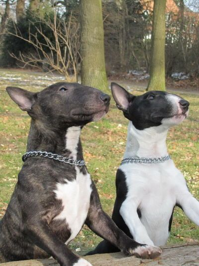 Bull Terriers, some about their big ol heads make them so