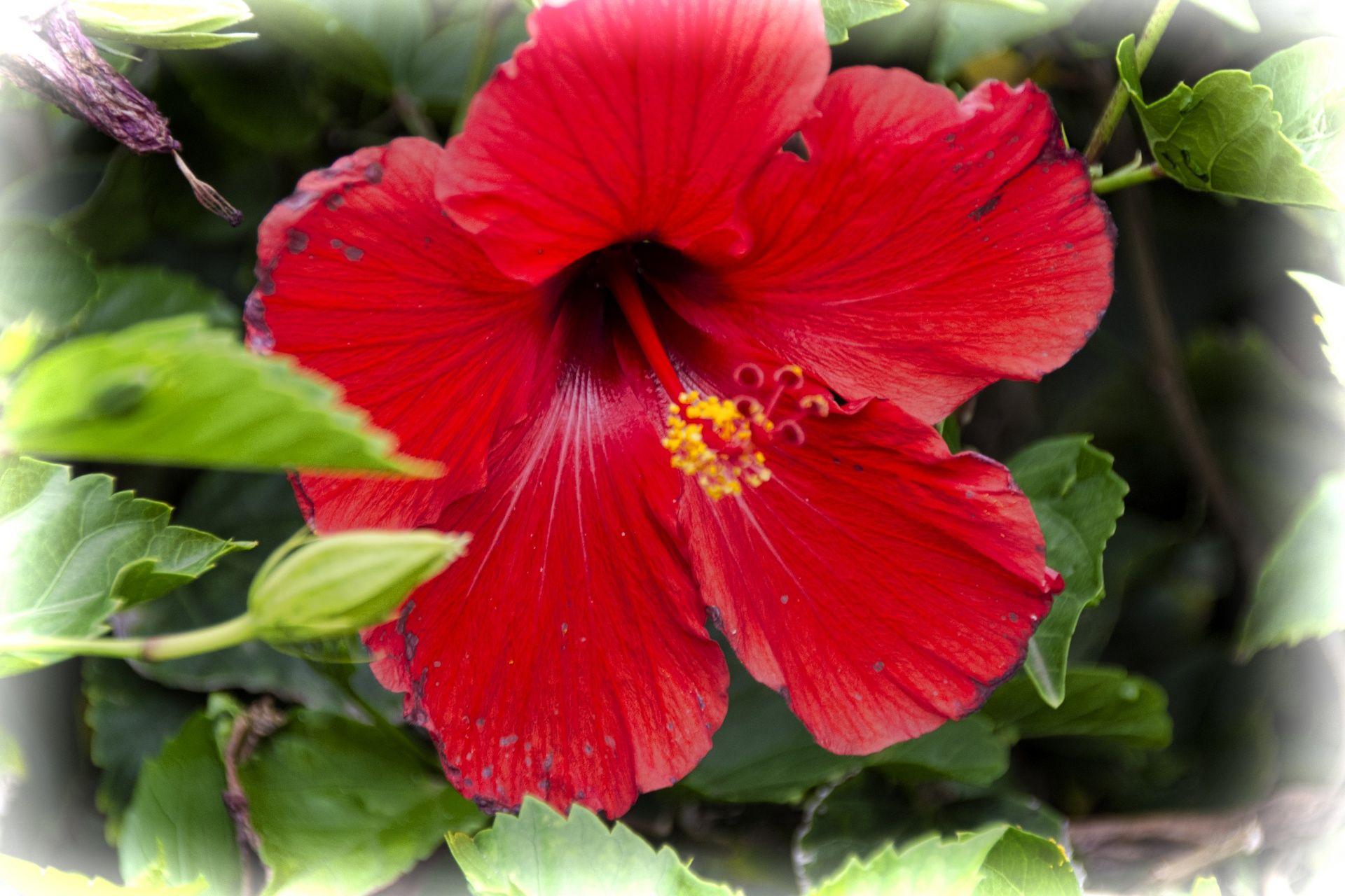 Red Hibiscus Flower Hibiscus Flowers Flowers Hibiscus