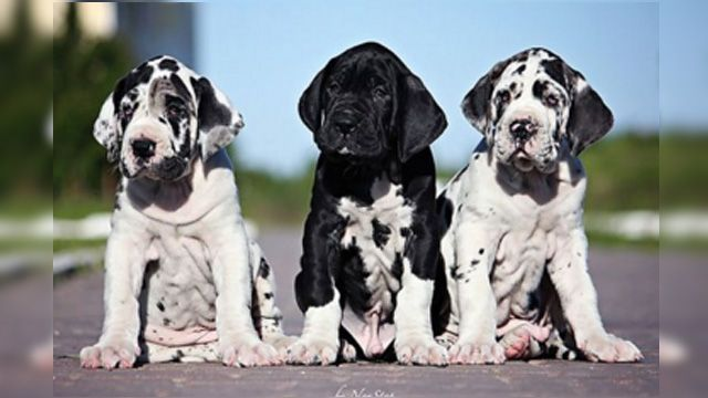 16 Of The Cutest Great Dane Puppies Ever Dane Puppies Great