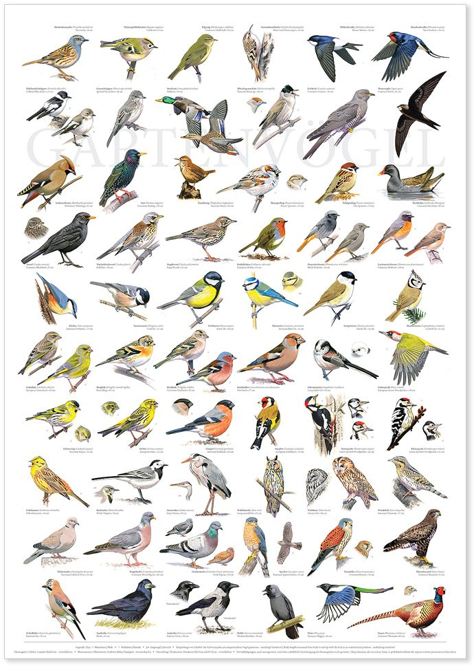 b1704c923a7 Gartenvögel / Garden birds Vögel Bestimmen, Schautafeln, Vögel Im Garten,  Vogelarten, Heimische