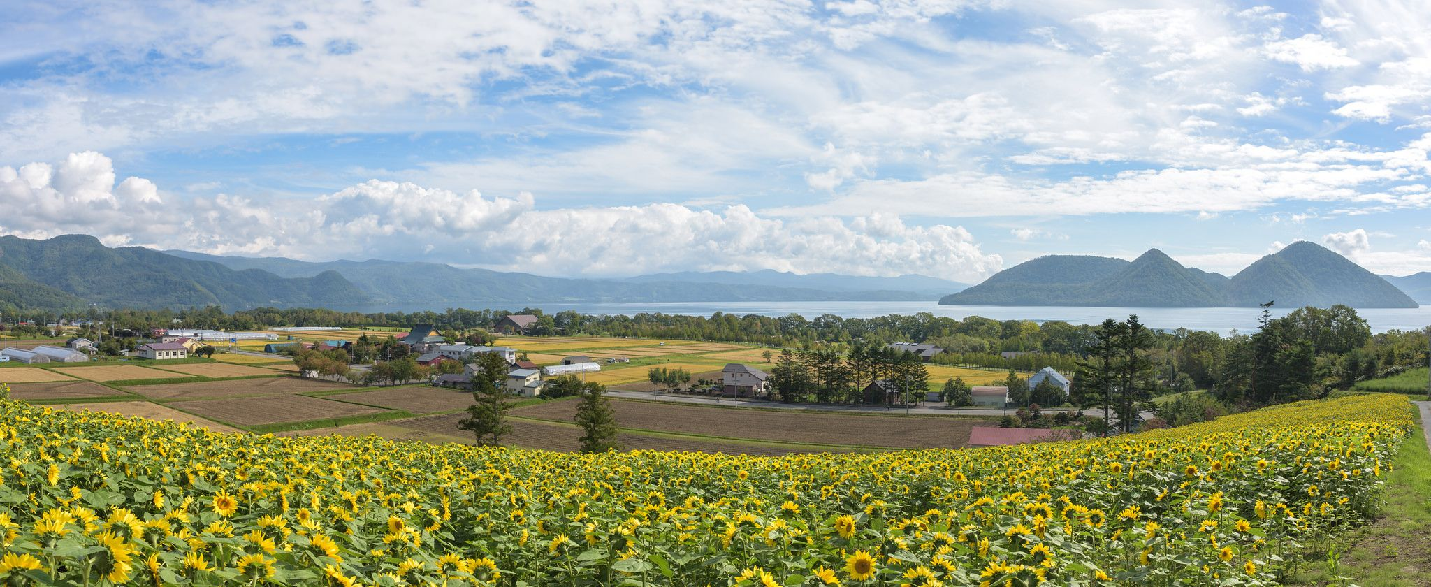 https://flic.kr/p/MxjWXZ | Sunflowers and Lake Toya | Copyright © 2016 Kris Gaethofs - All rights reserved