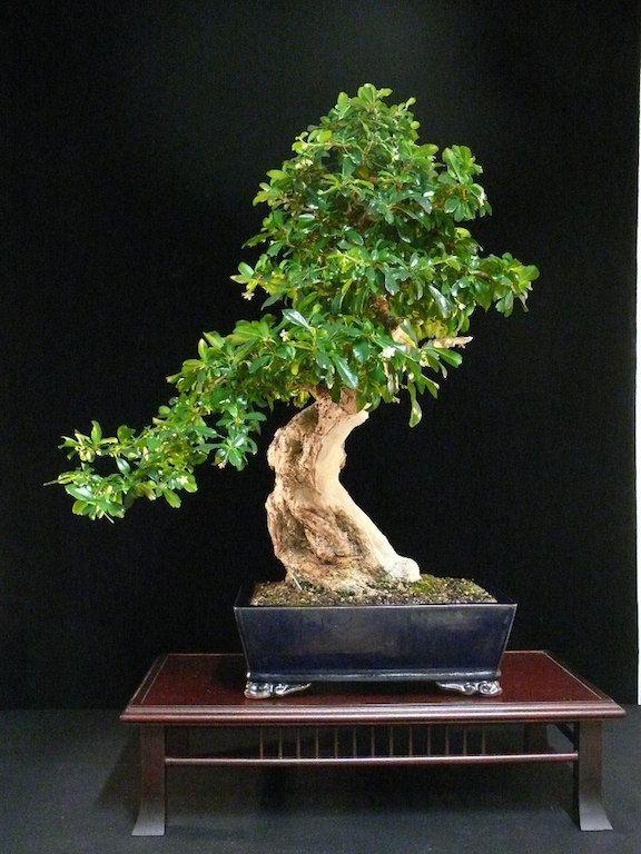 Carmona Fukien Tea Fukien Tea Bonsai Bonsai Tree