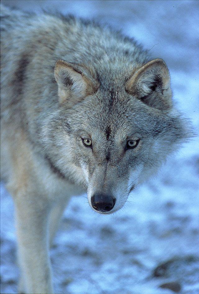 Wolf, Ähtäri Zoo in Finland