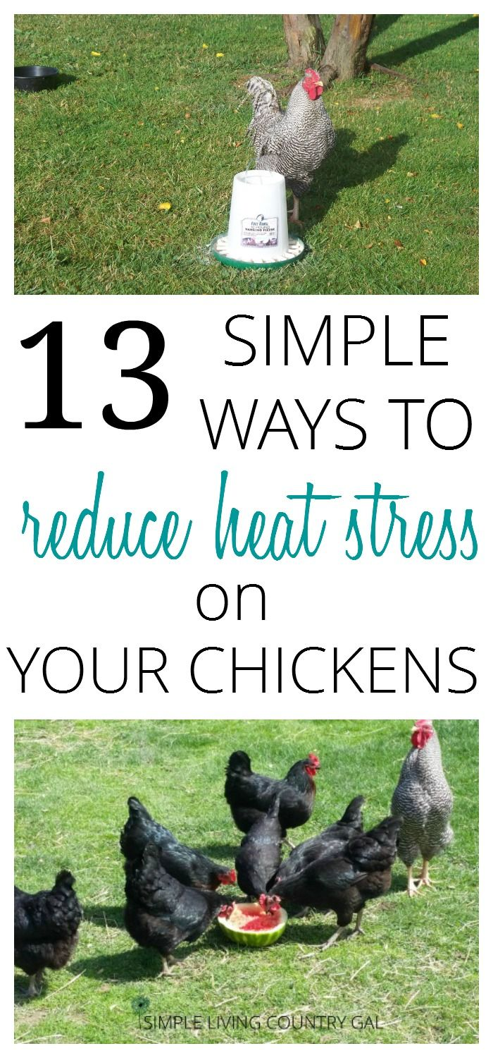 keep your chickens cool and laying strong all summer long