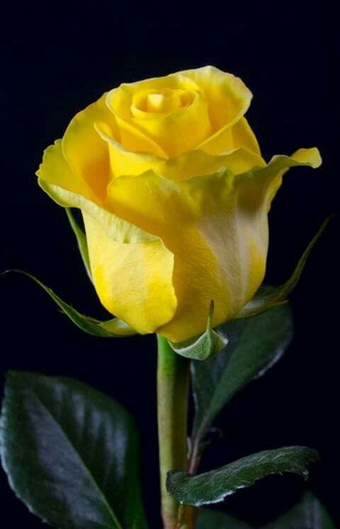 Boa Noite Rosas Amarelas Rosas Roseiras