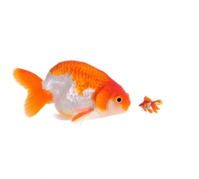 15 Awesome Different Types Of Goldfish With Pictures 2019 Goldfish Common Goldfish Goldfish Types