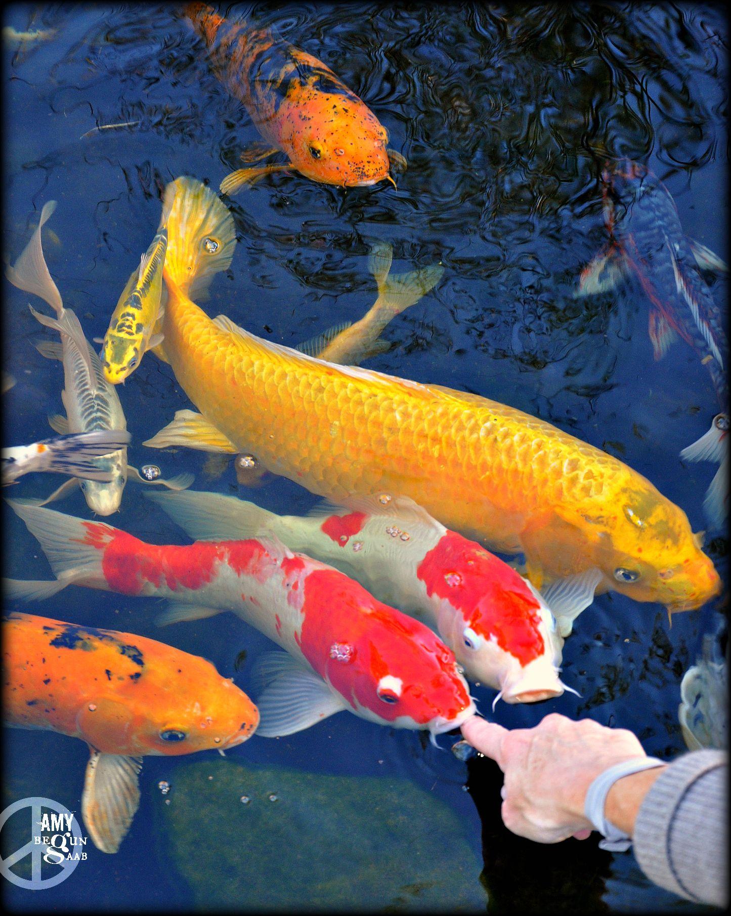 Koi That Act Like Puppies Myer S Plants And Pottery Koi Koi Fish Pond Koi Art
