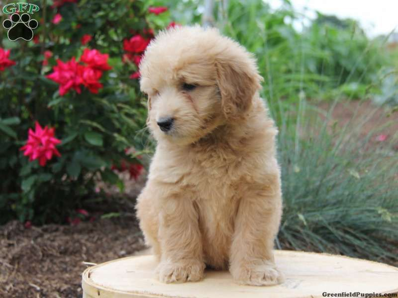Hunter Mini Goldendoodle Puppy For Sale From Parkesburg Pa Goldendoodle Puppy Goldendoodle Mini Goldendoodle Puppies