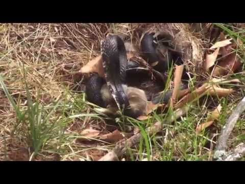 A rabbit fights a snake to save her babies and wins in one