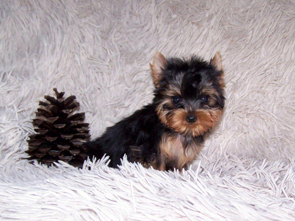 Bridgie Yorkshire Terrier Puppy For Sale Yorkshire Terrier Puppies Yorkshire Terrier Yorkie Terrier