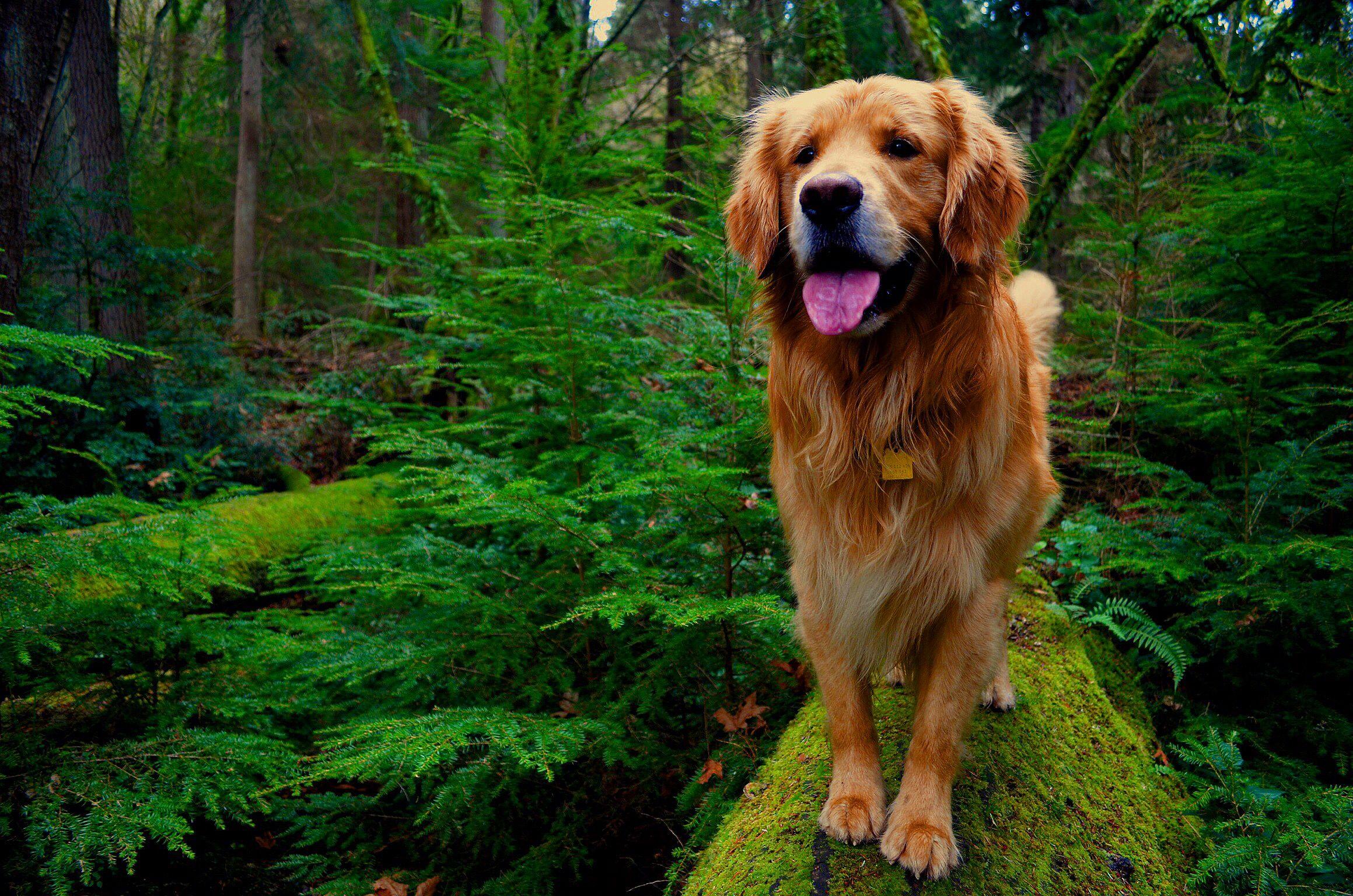 Golden Retriever Golden Retriever Puppy Golden Retriever Dog Greenery Woodland Forest Dog Photography Golden Retriever Photography Dogs Golden Retriever