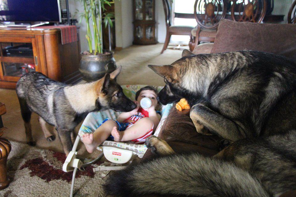 Sierra Vom Kraftwerk Loves Kids Dogs People And Even Cats Dogs German Shepherd