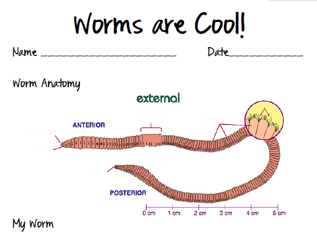 Earthworm Anatomy For Kids   www.pixshark.com - Images Galleries With A Bite!