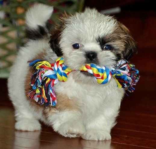 The Adorable And Cute Shih Tzu Puppy With Chew Toy Shih Tzu